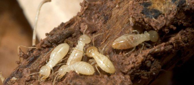 termites and eradication